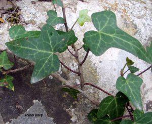 ענף צעיר שלקיסוס החורש. תמונה ערגה אלוני ©