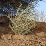 טפרוסיה נובית בהר אילת, 12.3.2020, צלם מורי חן ©