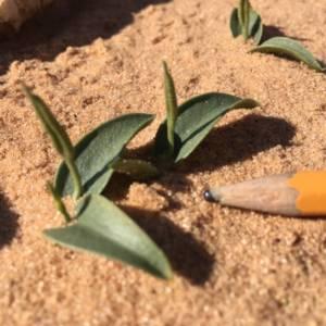 לשון-אפעה רבת-עלים , צלם בועז לנגפורד ©