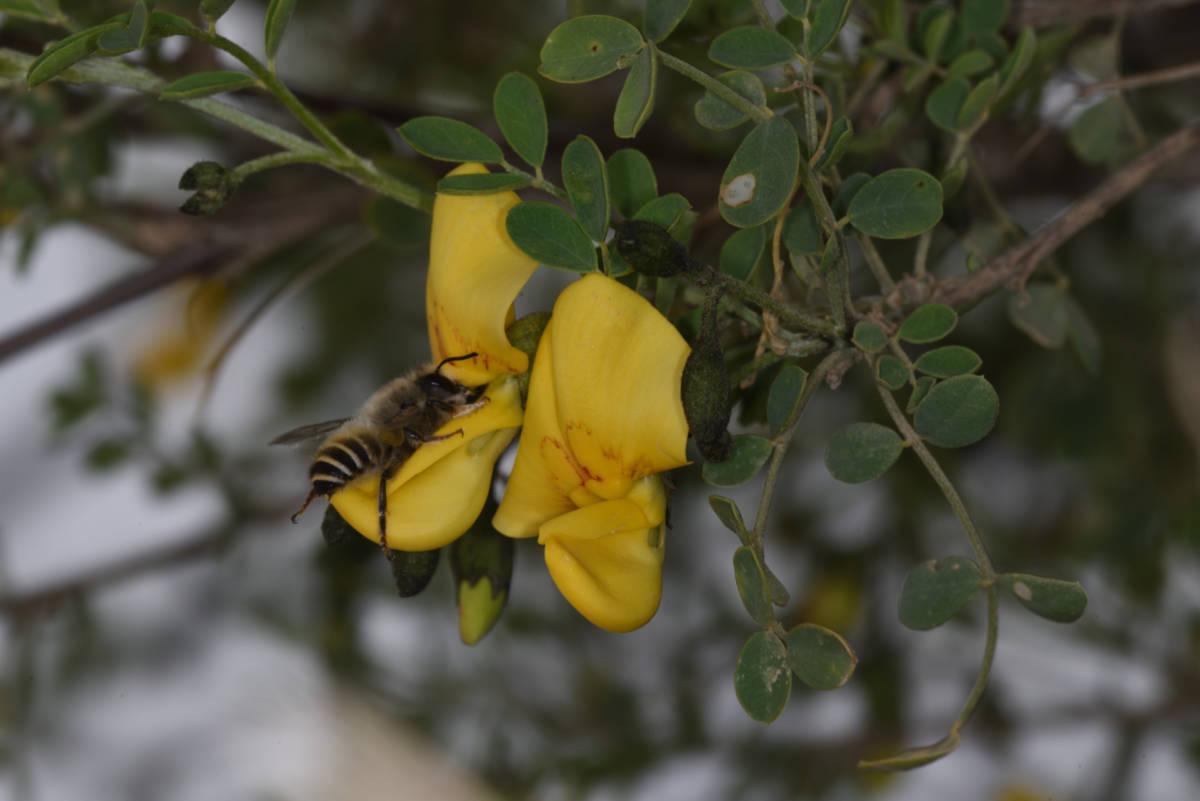 חדשות בוטניות: דבורה בנאית מבקרת קרקש צהוב