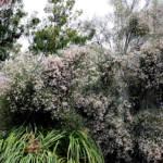 מורינגה רותמית 12.4.20 עין-גדי ענת רז ©