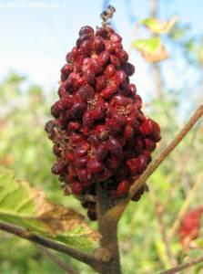 פירות של אוג הבורסקאים בהבשלה