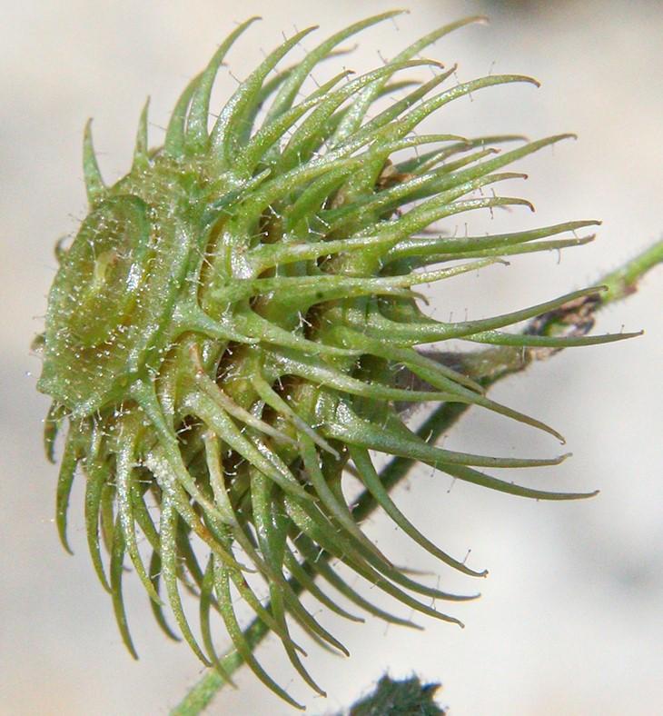 Read more about the article אספסת הדיסקוס Medicago disciformis  –   צמח חדש לישראל