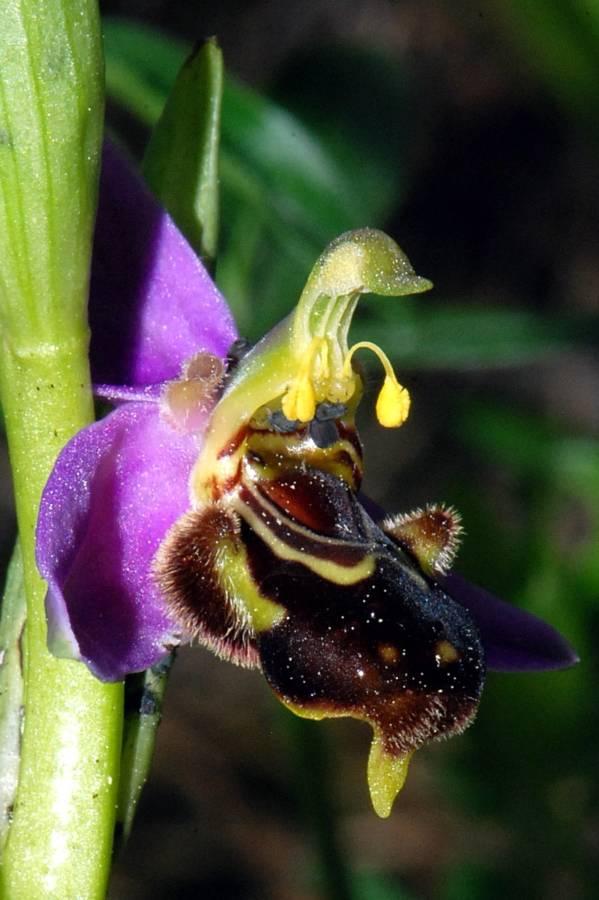 דבורנית הדבורה בישראל, חרייבה בכרמל, צילם אסף שיפמן ©