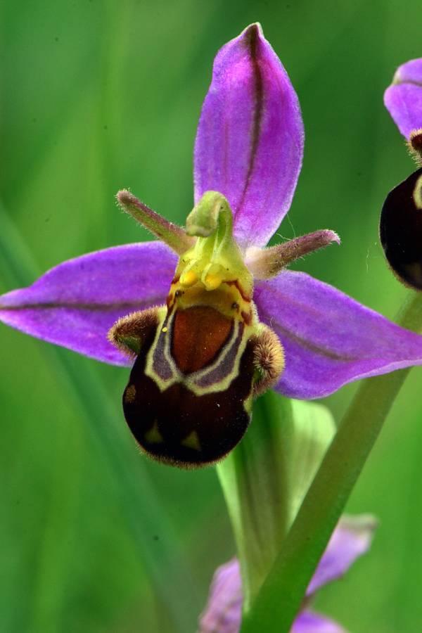 דבורנית הדבורה Ophrys apifera ווריאצית אאוריטה צילום: אסף שיפמן ©