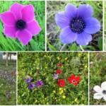 צבע הפרחים, ההאבקה, והגנטיקה של הכלנית המצויה Anemone coronaria בישראל