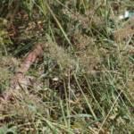 בן-חילף עדין Eragrostis amabilis , צלם בר שמש ©