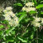 זלזלת היערות Clematis vitalba פורחת ליד הסטף בהרי-ירושלים