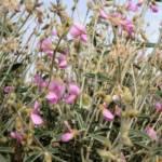 טפרוסיה נובית Tephrosia nubica, צלם מורי חן ©