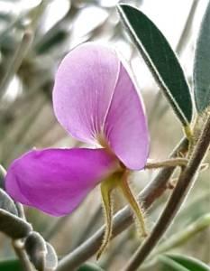 טפרוסיה נובית Tephrosia nubica, הרי אילת, צלם מורי חן ©