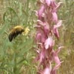 זכר דבורת-עץ צהובת-חזה מבקר בפרחי סחלב קדוש, צלם יצחק תור ©