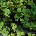 מרסיליה זעירה.. צלם ליאור אלמגור ©