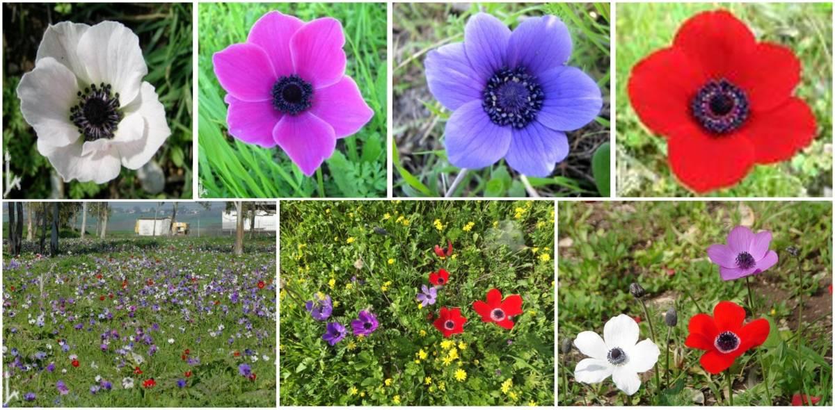 Read more about the article צבע הפרחים, ההאבקה, והגנטיקה של הכלנית המצויה Anemone coronaria בישראל