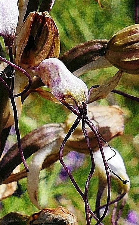 חדשות בוטניות: רצועית מצויצת Himantoglossum comperianum – צמח חדש לישראל