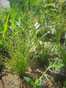 סמר ענף בעמק יזרעאל, 13.5.20, צלמו שמש וכברה-לייקין ©