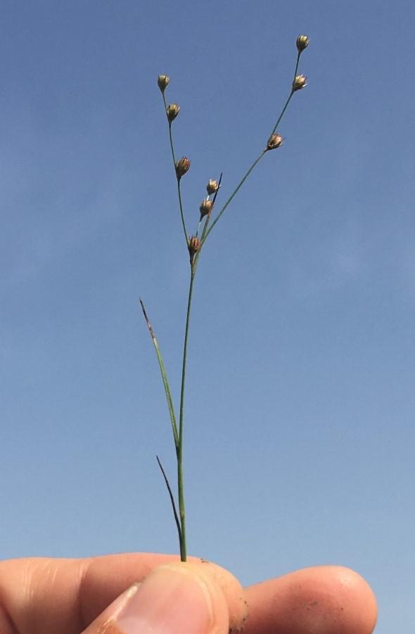 חדשות בוטניות: סמר ענף  התגלה מחדש בעמק יזרעאל לאחר שנחשב כנכחד