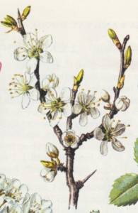 שזיף קטן-פרי Prunus mahaleb