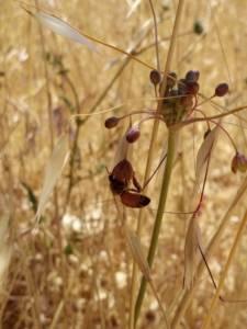 דבורת-דבש מבקרת בשום לבן-קליפות Allium albotunicatum, רמת בית-שמש, צלם: יהונתן רונס ©