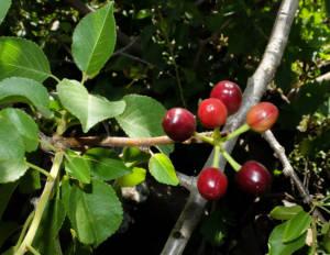 שזיף קטן-פרי Prunus mahaleb צילם עוז גולן ©