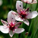 """פורחי חודש יוני: בוציץ סוככני Butomus umbellatus עשבוני ר""""ש נדיר הגדל בבתי גידול לחים"""
