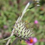 ארנין ההרים. Ptilostemon chamaepeuce צילם: עוז גולן ©