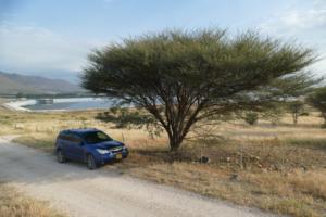 שיטה סוככנית למרגלות הגלבוע בעמק בית-שאן. צילם: רועי טלבי ©