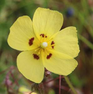 שמשונית הטיפין Tuberaria guttata 30.4.20 ר.נמרוד עוז-2