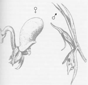 סחלב דרווין קטסטום סקוטטום, דרווין 1862