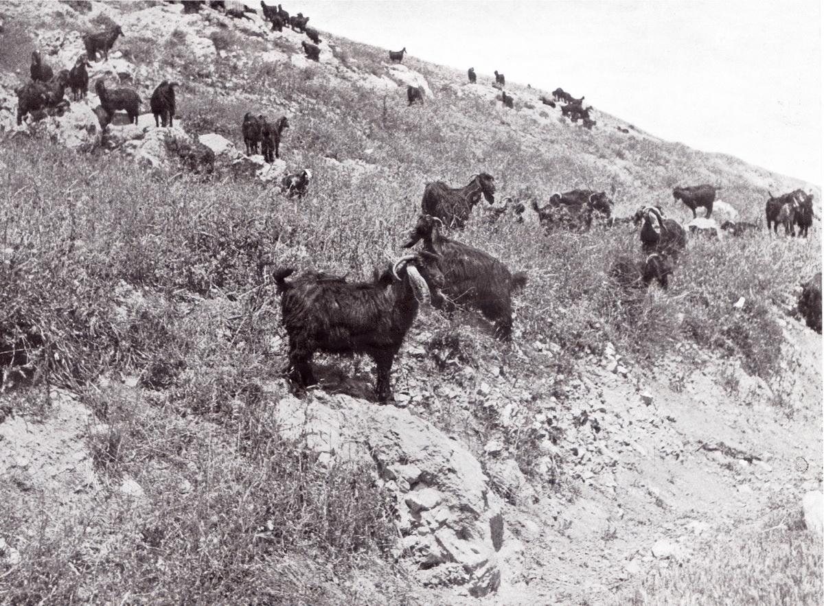 """עיזים שחורות, רייפנברג 1950 """"מלחמת המזרע והישימון""""."""