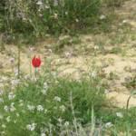 צבעוני המדבר, צילם יגאל גרנות ©