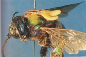זכר דבור נושא אבקיום סחלב קטסטום