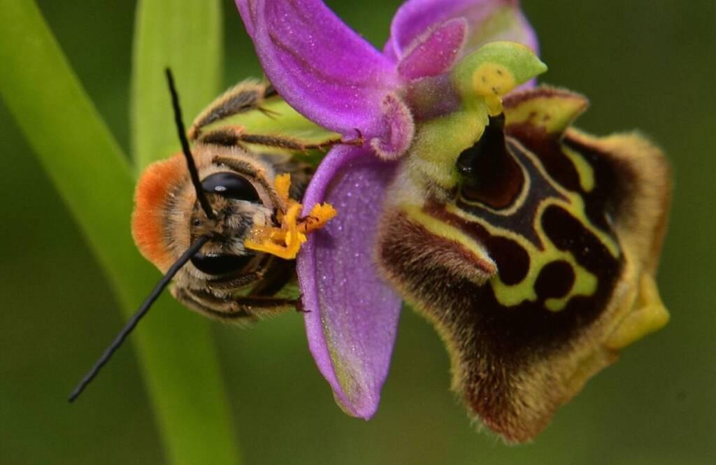 דבורנית גדולה ודבור אנטופורה, צלם אסף שיפמן ©