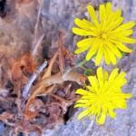 מרור שנהבי, המקור: צמח השדה