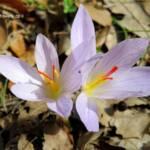 כרכום נאה צילם אורון יעקב צמח השדה
