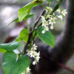 Tamus orientalis טמוס מזרחי 1511 (4)-001