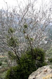 Viscum cruciatum דבקון הזית 0653