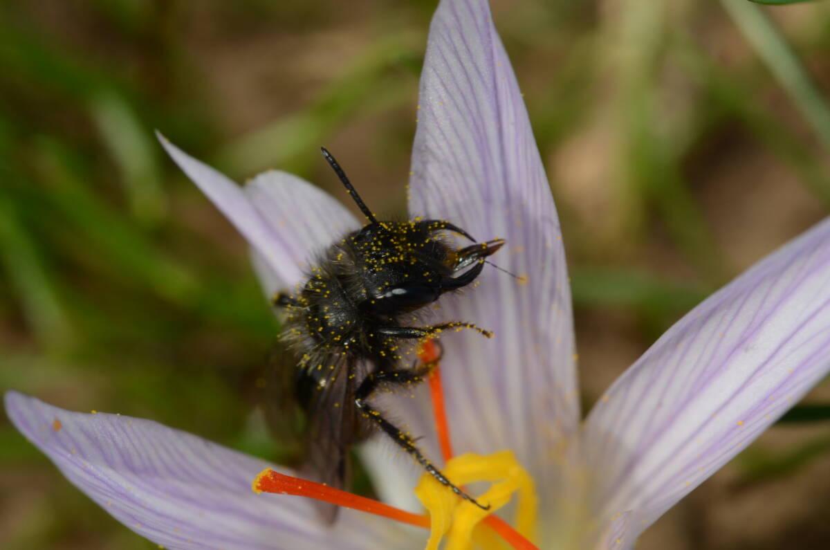 Read more about the article אנדרנת הכרכום Andrena crocusella – דבורה חורפית שתוארה לאחרונה מישראל