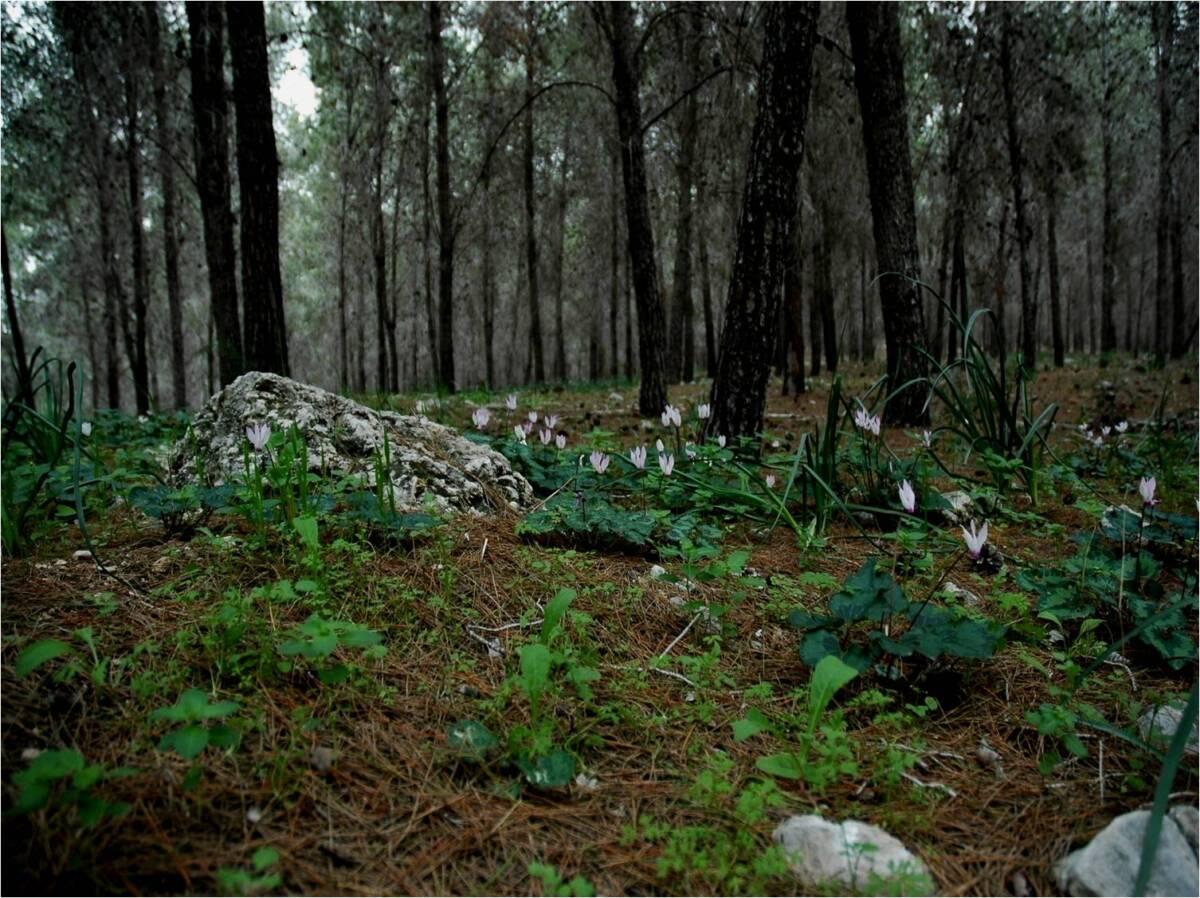 יער אורנים חד-מיני נטוע ללא תת יער בשחריה, צילום: יגיל אוסם ©