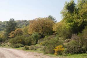 התחדשות ספונטנית של אורנים בתוך חורש טבעי (משמאל) ושל אלונים בתוך יער נטוע (מימין), צילם יגיל אוסם ©