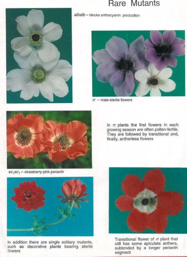 פרחי כלנית של מוטנטים נדירים של כלנית מצויה, אורה הורוויץ