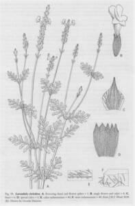 איור-קו א.ציטריאודורה מין ויקרי לא.שעיר, מתוך אופסון-2004