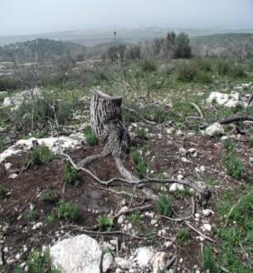 אורן ירושלים, צילם: גידי נאמן ©