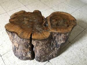 גדם של עץ זית אירופי, צילום: אורית שמחוני (2015) ©