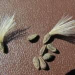 זרעוני חוחן הירדן, צילם ש.מזר ©