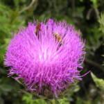 חוחן הקנרס, הר-מירון, צילם א.שמידע ©