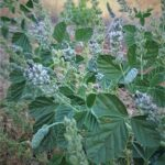 בן-שרעול אטלסי בית גידול דמות הצמח ותפרחת, צילמה: מרס שמאלי ©